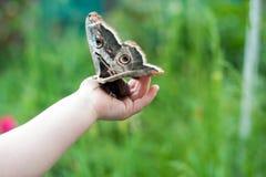 Beautiful butterfly Saturnia pyri Stock Photo