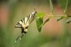The beautiful butterfly Scarce Swallowtail (Iphiclides podalirius Linnaeus, 1758) Royalty Free Stock Photos