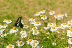 Beautiful butterfly seeking nectar on daisy flower. Stock Image