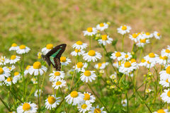 Beautiful butterfly seeking nectar on daisy flower. Royalty Free Stock Images