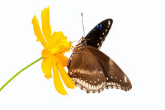 Beautiful butterfly seeking nectar on a flower. On white background using path Royalty Free Stock Image