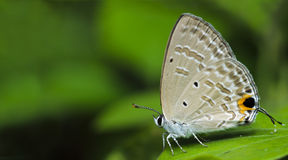 Beautiful Butterfly, Silver Forget-Me-Not, Catochrysops panormus Royalty Free Stock Image