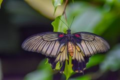Hanging Beautiful Butterfly royalty free stock images