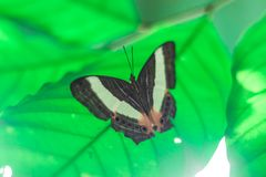 Beautiful butterfly sit on the green leaf stock images