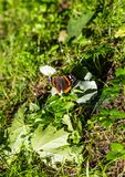 A beautiful butterfly sits on the grass spread its wings, and next are maple leaves on the Curonian Spit, Russia stock photo