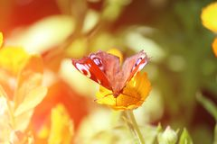 Beautiful butterfly sits on a marigolds Calendula in close up. Medicine flowers royalty free stock image