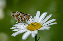 Beautiful butterfly sitting on a Daisy flower in the rain drops on a blurred green background.  royalty free stock photo