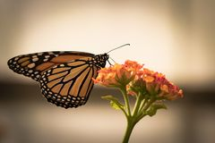 Beautiful butterfly sitting on a flower. A close-up view of a beautiful butterfly sitting on a flower royalty free stock photo