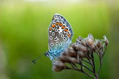 Beautiful butterfly sitting on flower and feeding. Macro detail of tiny creature. Spring season, Czech republic. Beautiful butterfly Adonis Blue. Polyommatus stock photo