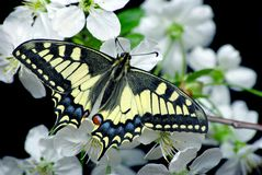 Beautiful butterfly sitting on a flower isolated on black. Butterfly and flowering branch of cherry. Swallowtail butterfly, Papili. Beautiful butterfly sitting stock photo