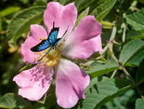 Beautiful butterfly sitting on a flower of wild rose royalty free stock photos