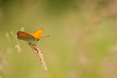 Beautiful butterfly sitting on a grass. In sunrise Royalty Free Stock Image