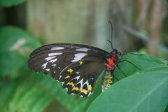 Beautiful butterfly sitting on a green leaf. In botanic garden in Australia royalty free stock photo