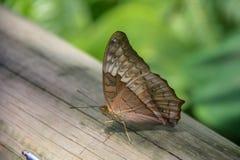 Beautiful butterfly sitting on a green leaf. In botanic garden in Australia stock image