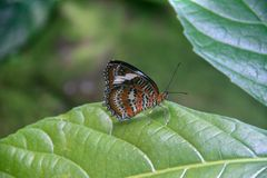 Beautiful butterfly sitting on a green leaf. In botanic garden in Australia stock photography