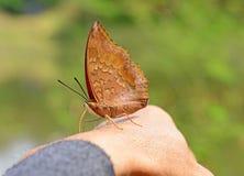 Beautiful butterfly sitting on hand. Beautiful butterfly sitting on hand animal insect wild royalty free stock photography