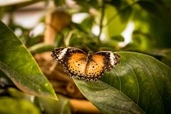 Beautiful butterfly sitting on a plant leaf. A close-up view of a beautiful butterfly sitting on a plant leaf royalty free stock photography