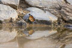 Beautiful butterfly sitting on a rock at a waterhole in the Kala. Hari Royalty Free Stock Photo