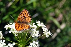 The beautiful butterfly sitting on a white flower Royalty Free Stock Images