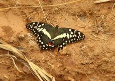 A beautiful butterfly species Papilio-demoleus with white spots and red `eyes` stock photography