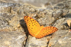 Beautiful Butterfly on stone Stock Images