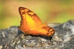 Beautiful Butterfly on stone Stock Photo