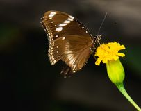 Beautiful butterfly sucking nectar from a bright yellow flowers. Stamens. On the morning of the day with good weather stock photo