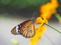 Beautiful butterfly Sucking on sweet and sour flowers and sunshine, blurry background and space for text or symbol with natural be. Auty conception, cute, gentle royalty free stock images