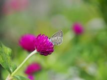 Beautiful butterfly Sucking on sweet and sour flowers and sunshine, blurry background and space for text or symbol with natural be. Auty conception, cute, gentle royalty free stock photography