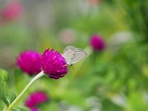 Beautiful butterfly Sucking on sweet and sour flowers and sunshine, blurry background and space for text or symbol with natural be. Auty conception, cute, gentle royalty free stock image