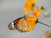 Beautiful butterfly Sucking on sweet and sour flowers and sunshine, blurry background and space for text or symbol with natural be. Auty conception, cute, gentle royalty free stock photo