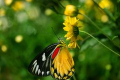 Beautiful butterfly sucking sweet water from yellow flowers. In garden royalty free stock image