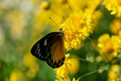 Beautiful butterfly sucking sweet water from yellow flowers. In garden royalty free stock photo