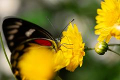 Beautiful butterfly sucking sweet water from yellow flowers. In garden royalty free stock images