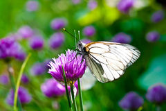 Beautiful butterfly on summer lilac flowers Stock Image