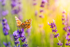 Beautiful butterfly summer meadow flowers, colorful lavender landscape Stock Photos