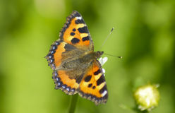 Beautiful butterfly on summer meadow Stock Images