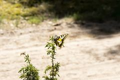 Beautiful butterfly of the swallowtail-queen Papilio machaon on twigs of juniper in pine bores. Wandering queen in the spring scenery on a forest d ee the Stock Photography