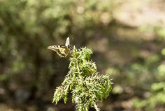 Beautiful butterfly of the swallowtail-queen Papilio machaon on twigs of juniper in pine bores. Wandering queen in the spring scenery on a forest d ee the Stock Photo