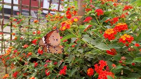 A beautiful Butterfly in the sweet leaf, stock photography