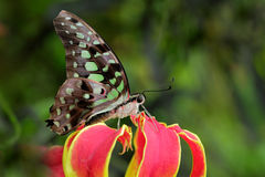 Beautiful butterfly Tailed jay, Graphium agamemnon, sitting on red and yellow flower. Indonesia, Asia royalty free stock images