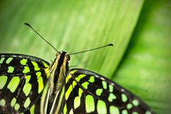 Beautiful butterfly Tailed jay, Graphium agamemnon in tropical f royalty free stock photos