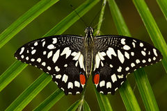Beautiful butterfly from Tanzania. Citrus swallowtail, Papilio demodocus, sitting on the green leaves. Insect in dark tropic fores. T Royalty Free Stock Image