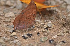 Beautiful butterfly. Butterfly Tawny Rajah;Common ground eaten like minerals. Or in the bush Stock Image