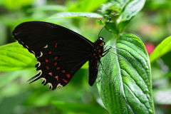 Beautiful butterfly at a tropical jungle in Guatemala Stock Image