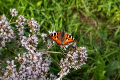 Beautiful butterfly urticaria, Aglais urticae, Nymphalis urticae, in the garden with light purple oregano flowers.  stock image