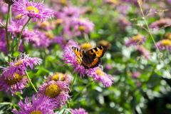 Beautiful butterfly-urticaria on the  pink flower of perennial asters in early autumn. Summer landscape. Beautiful butterfly-urticaria on the  pink flower of Royalty Free Stock Image