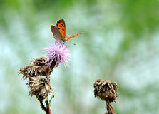 Beautiful butterfly via the proboscis collects pollen from flowe Stock Image