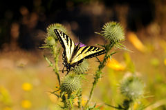 Beautiful butterfly on a wild flower with thorns Royalty Free Stock Images
