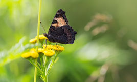 Beautiful butterfly on a wildflower. Royalty Free Stock Photography